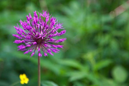 allium cepa: Close up of an onion flower (Allium cepa) Stock Photo