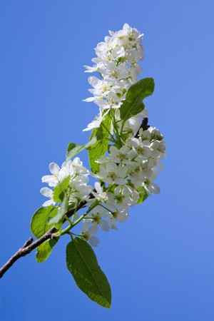 blooming branch of bird-cherry tree over blue sky