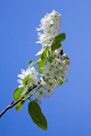 blooming branch of bird-cherry tree over blue sky