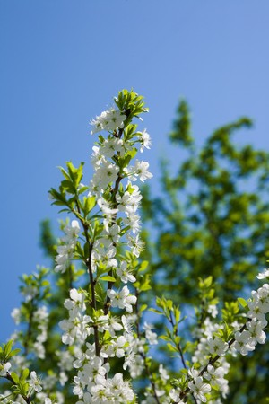 blooming branch of bird-cherry tree over blue sky 版權商用圖片 - 6986523