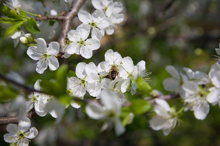 blooming branch of jasmine with bee on a flower