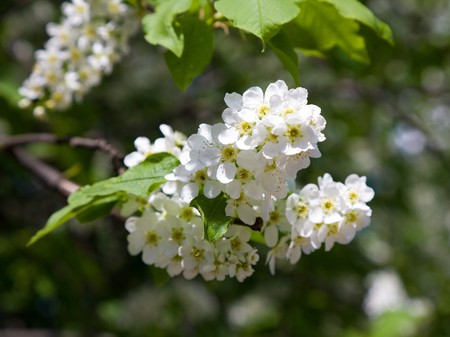 blooming branch of bird-cherry tree 版權商用圖片
