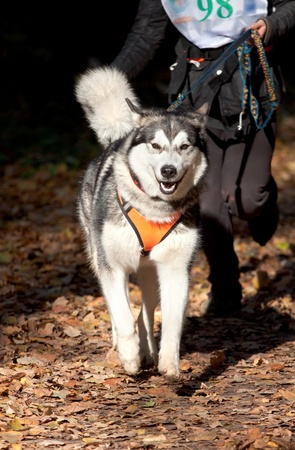 mushing: Sports with a dog. Canikross. Alaskan Malamute Stock Photo