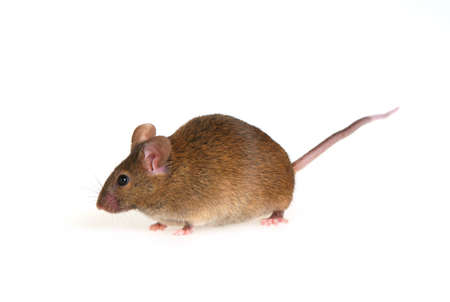 Small brown mousy on a white background Stock Photo