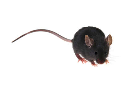 Small black mousy on a white background Stock Photo