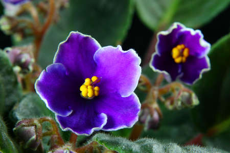 The African violet on a black background photo