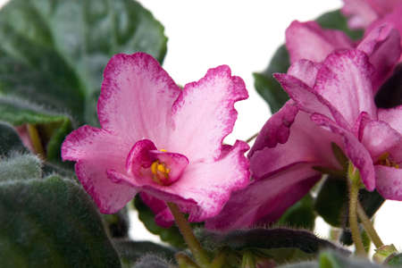 The African violet on a white background photo
