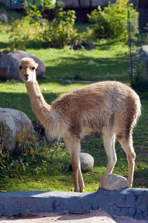 vicuna: Vicuna living in territory of a zoo Stock Photo