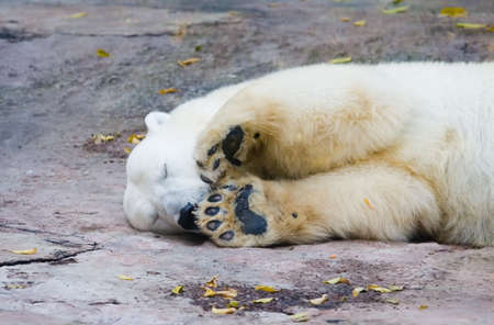 The polar bear living in territory of a zoo