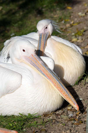 Pelican living in territory of a zoo photo