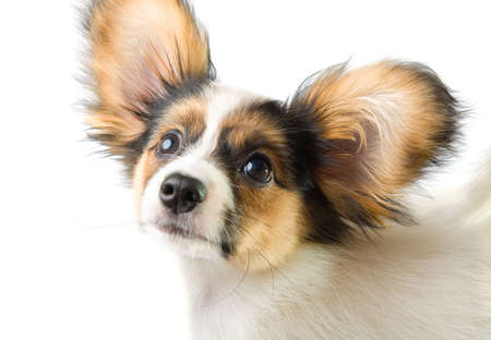 Portrait young papillon on a white background photo