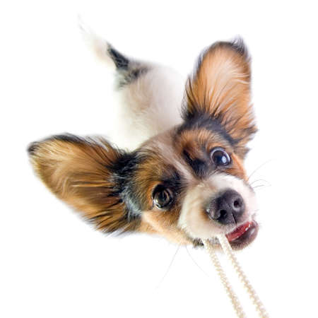 gripping hair: The puppy papillon playing with a rope. Isolated on white. Stock Photo