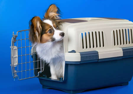 Young dog papillon and a plastic carrier photo