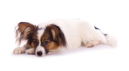 Young papillon isolated on a white background photo