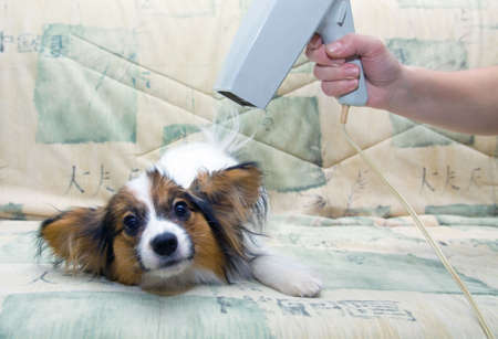blow drier: Drying of a dog by a hair drier after washing