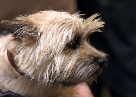 cairn: Dog of breed Cairn terrier