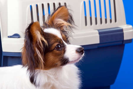 Young dog papillon and a plastic carrier Stock Photo - 4967833