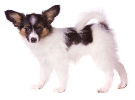 Puppy of breed papillon on a white background photo