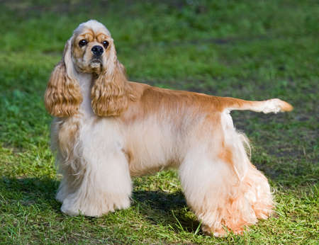 Portrait of Young dog of breed American cocker spaniel