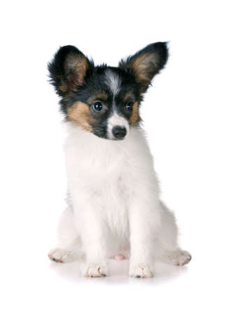 Puppy papillon Isolated on a white background photo