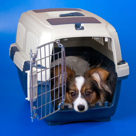 crate: Young dog papillon and a plastic carrier