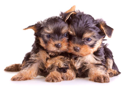 Small Yorkshire Terrier puppies on white background