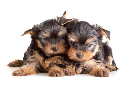 Small Yorkshire Terrier puppies on white background Stock Photo - 6236951