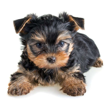 yorkshire: Small Yorkshire Terrier puppy on white background Stock Photo