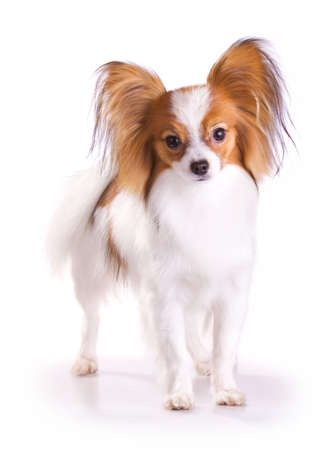 Dog of breed papillon isolated on a white background Stock Photo