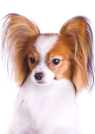 Dog of breed papillon isolated on a white background photo