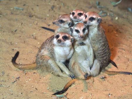 meerkats sud africain des animaux au zoo