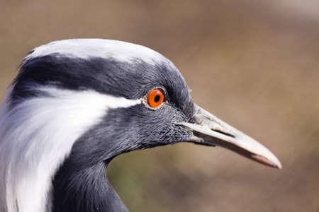Bird Demoiselle Crane (Anthropoides virgo) close up Stock Photo - 7070176