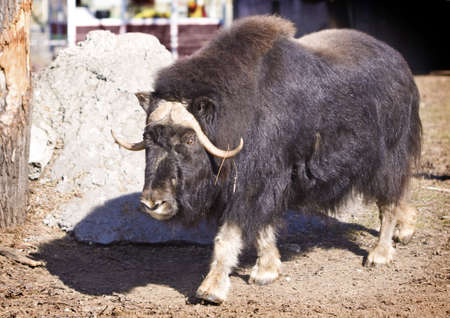 musk: Musk Ox (Ovibos moschatus Blainv) in a Moscow Zoo
