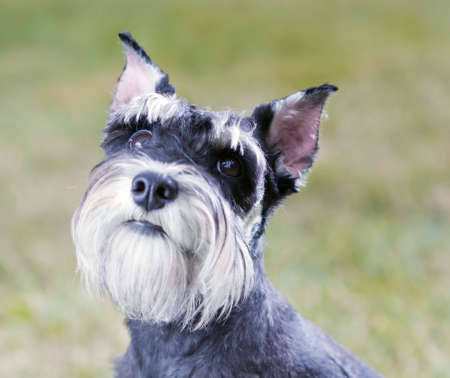 Portrait of a young miniature schnauzer on lawn photo
