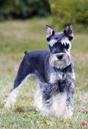 Portrait of a young miniature schnauzer on lawn