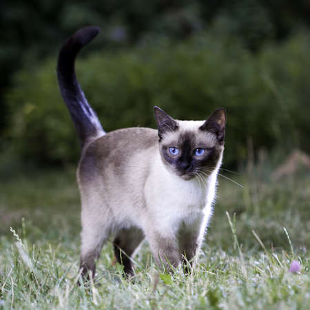 Portrait of a Thai cat on the lawn photo