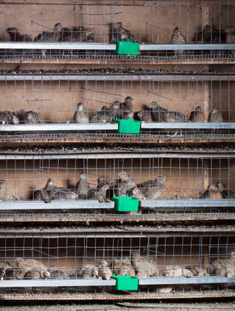 poultry farm: quails in cages at the poultry farm Stock Photo
