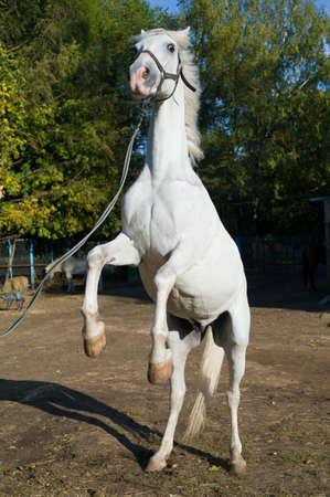 rearing: Young light gray thoroughbred horse rearing up