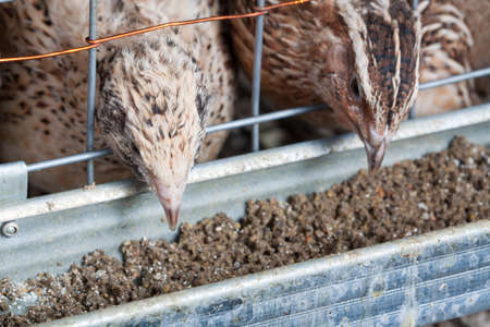 japanese quail: quails in cages at the poultry farm Stock Photo