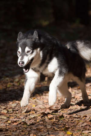 Running Dog breeds Alaskan Malamute on outdoors Stock Photo - 8105036