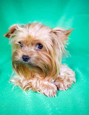Small Dog Yorkshire Terrier on green background photo