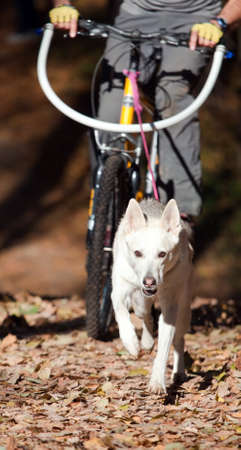 metis: Sports with a dog. Bikejoring. Norwegian metis