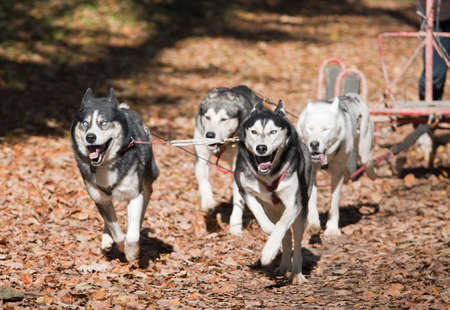 mushing: Sports with dogs. Dog-carting team. Dryland Stock Photo