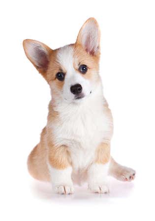 Pembroke Welsh Corgi puppy isolated on a white background  Stock Photo