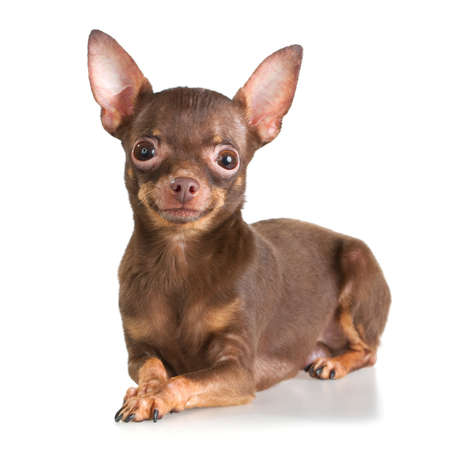 moscovian: Russian toy terrier isolated on a white background Stock Photo