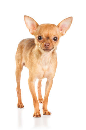 Russian toy terrier isolated on a white background Stock Photo - 8190698