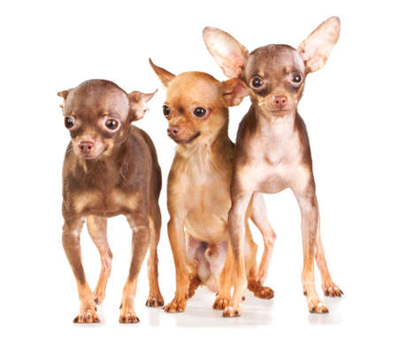 moscovian: Three Russian toy terrier isolated on a white background