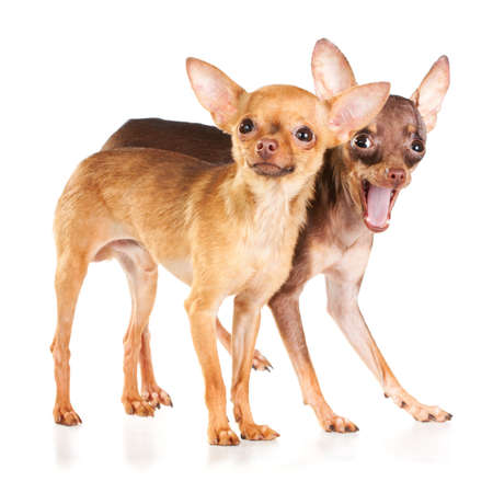 Two Russian toy terrier isolated on a white background Stock Photo - 8190700