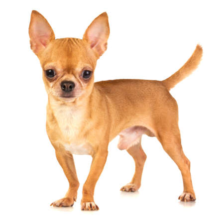 chihuahua dog: Short coat chihuahua on a white background Stock Photo