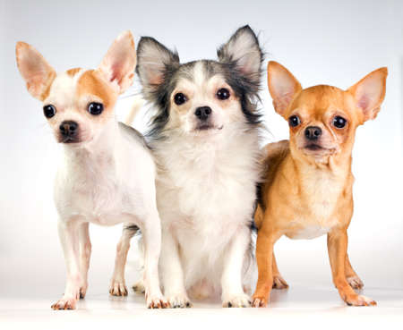 Three chihuahua isolated on a white background
